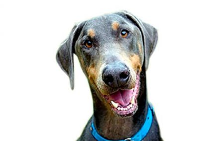 Help us tell the world about the great state of life that is Dobe ownership (or rather, being owned by a Dobe), send us your stories, and we