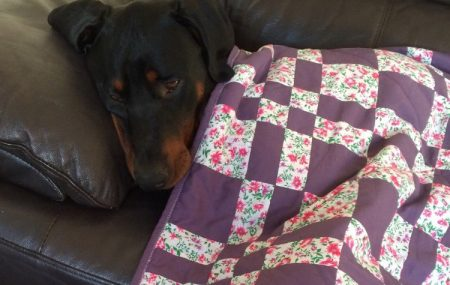 "So looking through rescue sites etc. and ""googling"" rescue Dobermans I found an advert on the ""preloved"" website for a 2 year Dobie female looking for a good home."