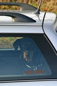 Does your Dobe enjoy car travel?