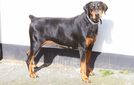 Tania found her forever home recently - Can you help save our other dobeys?