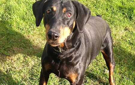 Another estimated Blk/Tan 5-year old boy. Not for the novice handler. Hogan has now been re-homed.