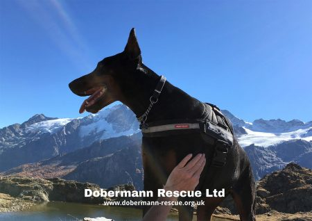 2020 Dobermann Rescue Calendar - Back